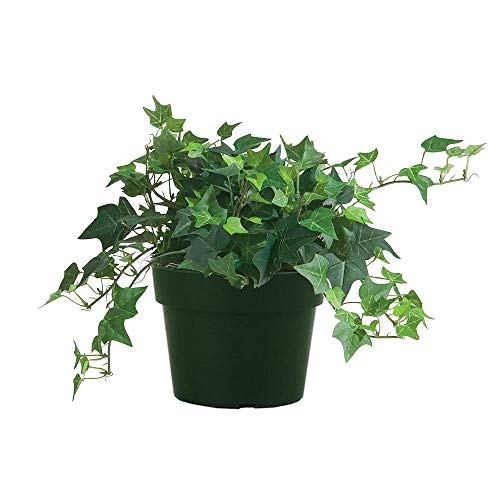 AMERICAN PLANT EXCHANGE Easy Care English Ivy California Trailing Vine Live Plant, 6' Pot, Indoor/Outdoor Air Purifier