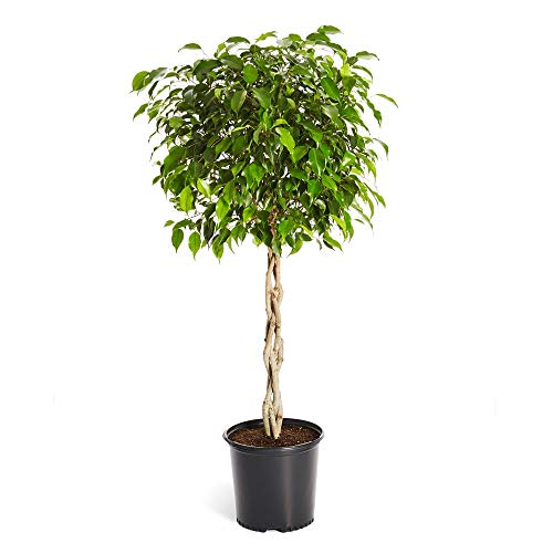 Brighter Blooms Benjamina Ficus Tree, 2-3 Ft. - The Easiest to Grow Ficus | Indoors or Outside | Low Maintenance | No Shipping to AZ