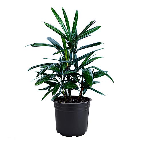 AMERICAN PLANT EXCHANGE Lady Palm Rhapis Excelsa Indoor/Outdoor Air Purifier Live Plant, 6' Pot