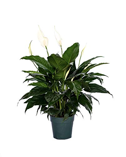 Peace Lily Clean air Plant Friendship Foliage's Family Farm Quality Live Indoor Spathiphyllum (6' Pot, 14-18in Tall from Bottom of The Pot)