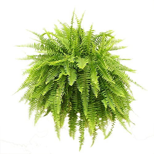 Costa Farms Boston Fern, Nephrolepis exaltata, Live Plant, 2-Feet Tall and Wide, Ships in Grow Pot with Hanger, Fresh From Our Farm, Excellent Gift