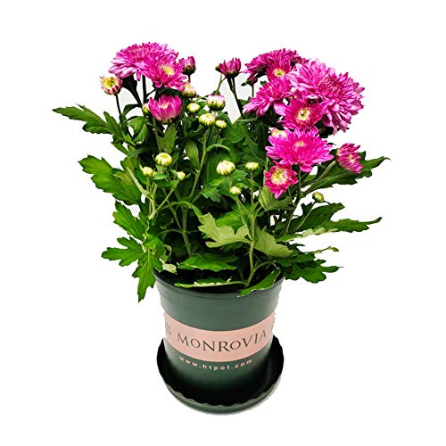 Aster Seeds 30Pcs Chrysanthemum Annual Outdoor Flower Garden Seeds Callistephus Chinensis Pink (Pink)