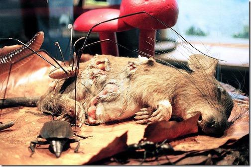 rotting-rat
