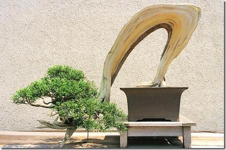 Semi-cascade Juniper Bonsai