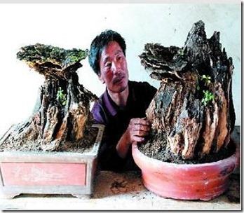 ganoderma bonsai