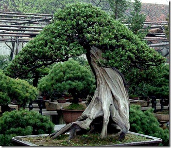 oldest bonsai tree