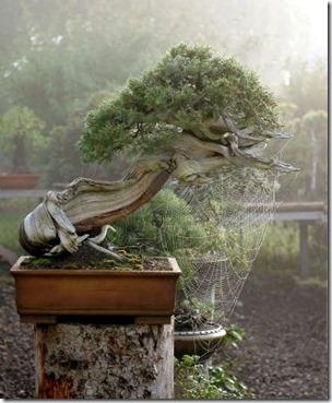 rocky mountin juniper walter pall