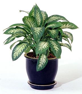 chinese-evergreen
